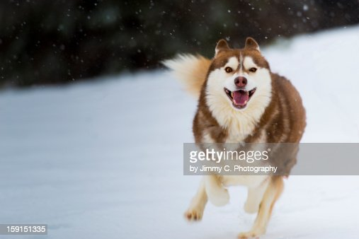 Red Siberian Husky running in snow