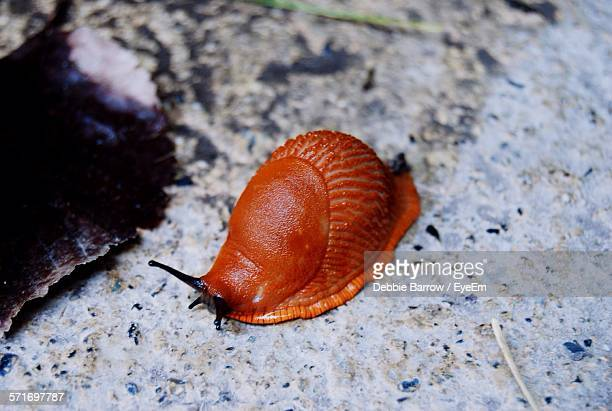 Red Snail On Rock