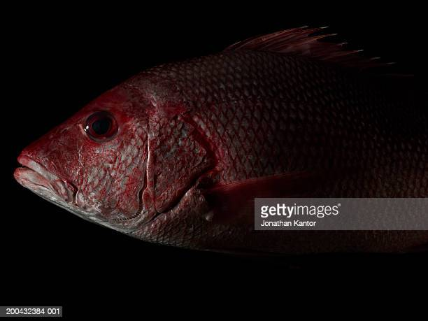 Red snapper, close-up