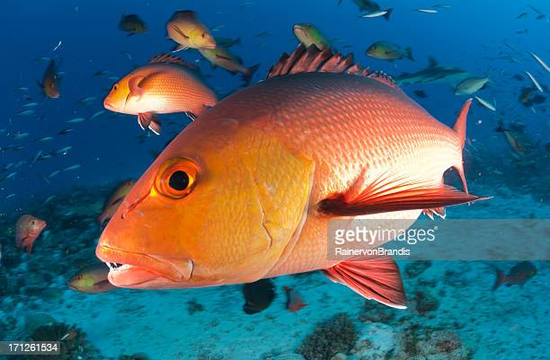 red snapper profile
