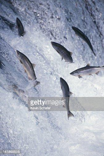 Red Sockeye Salmon jumping upstream, Brooks Falls, Katmai National Park, Alaska