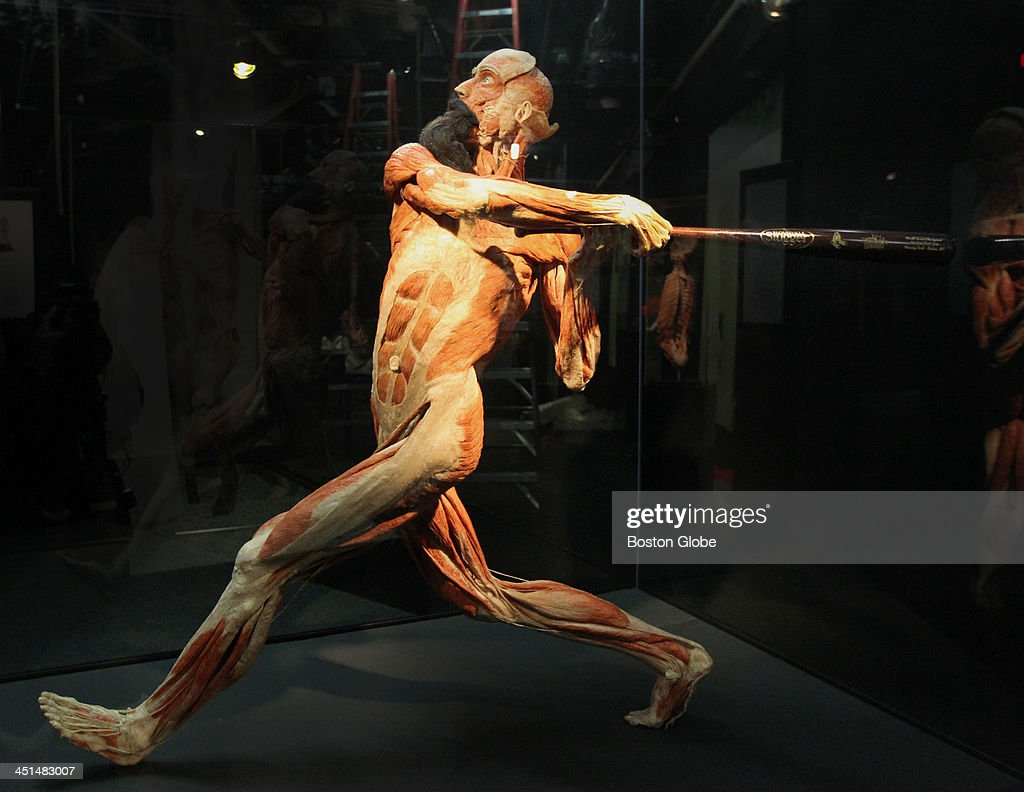 Red Sox player, sporting a beard and clutching a World Series bat, is displayed in Body Worlds Vital exhibit at Boston's Quincy Market, Wednesday, November 20, 2013.