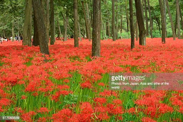 Red Spider Flower Park