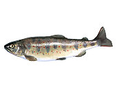 Red spotted masu trout
