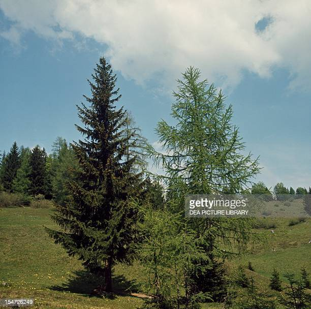 Red Spruce and European Larch Pinaceae
