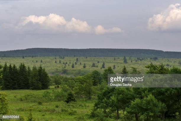 Red spruce forest at the Canaan Valley, Laneville, West Virginia, USA