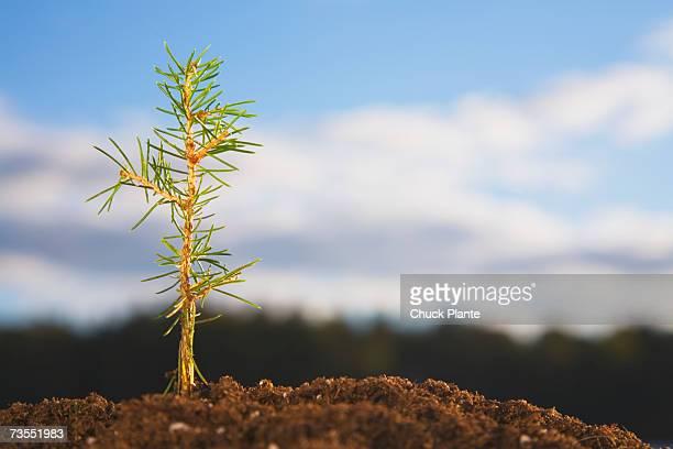 Red Spruce seeding, close-up