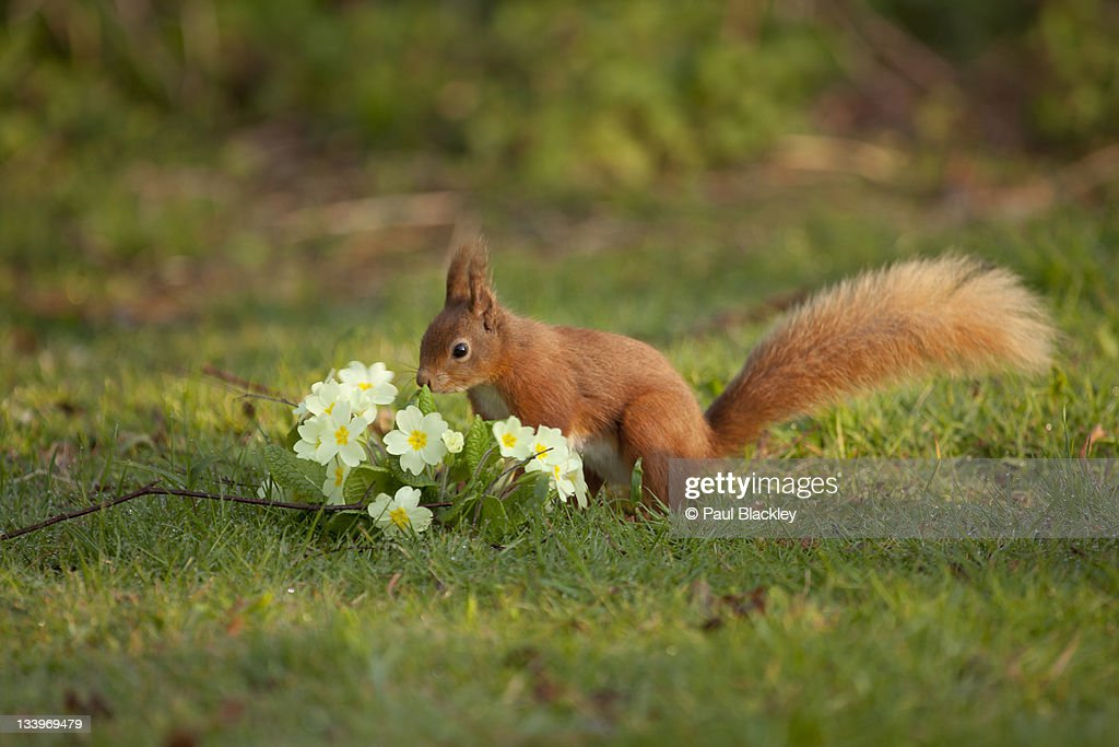 Red squirrel and primroses in spring