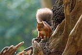 British native Red Squirrel backlit by sun, on Brownsea Island, Dorset.