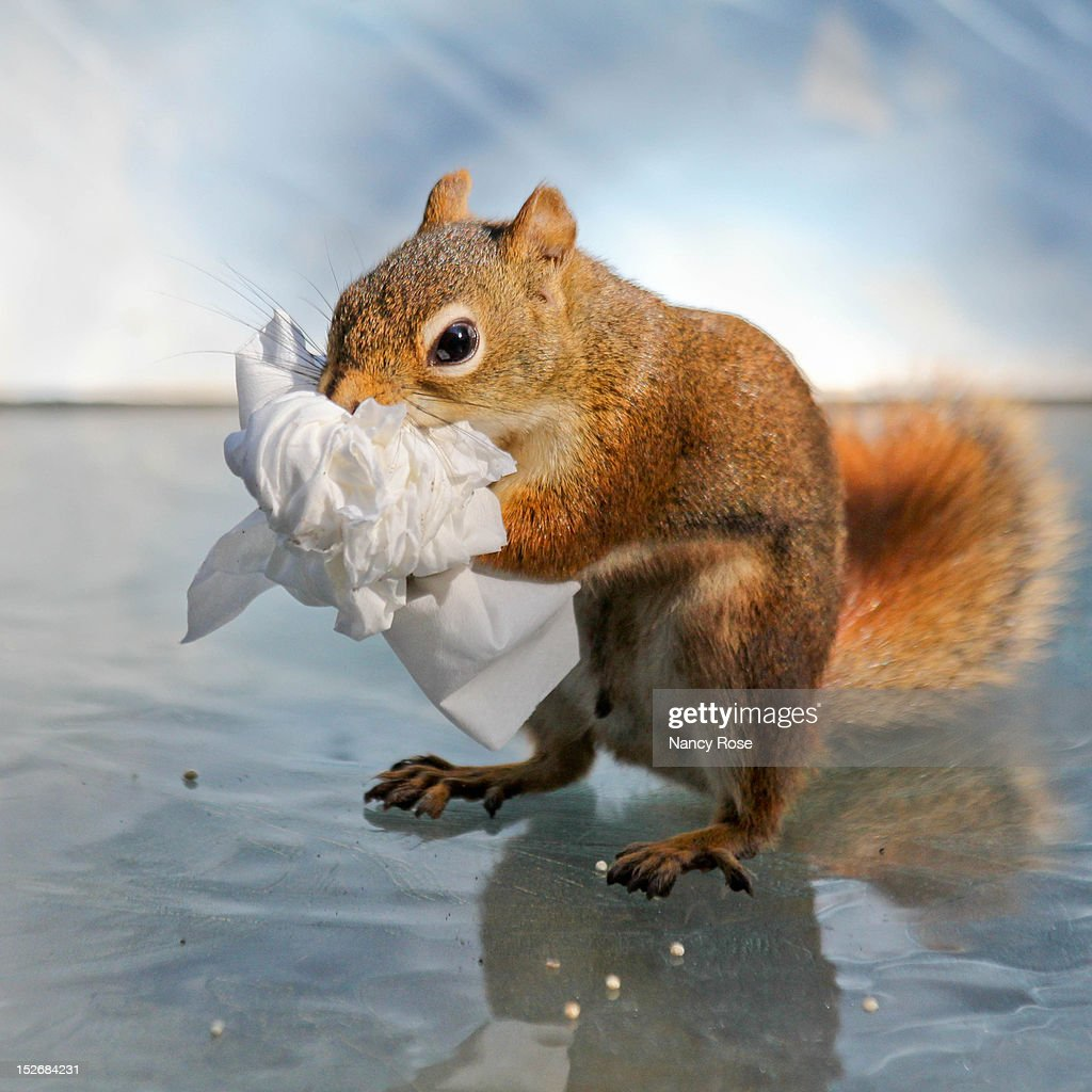 Red squirrel clutching bunch of facial tissues : Stock Photo