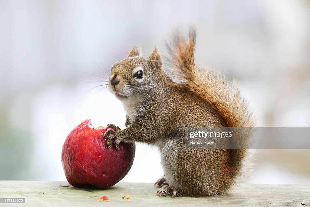 Red Squirrel eating apple