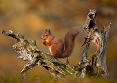 Red Squirrel eating nuts in Autumn
