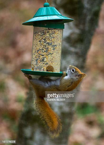 A red squirrel from a birdfeeder hung from a wire to get the seeds December 1 2012 in Hudson Wisconsin The battle goes on year round as bird lovers...