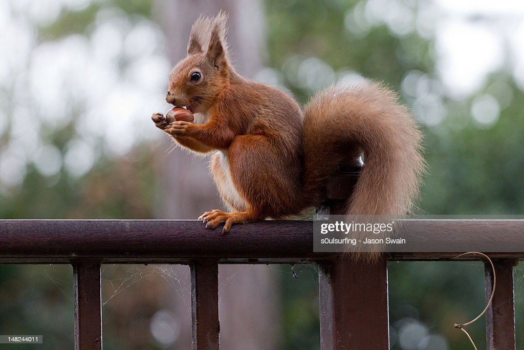 Red Squirrel getting ready for winter