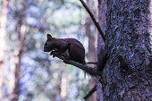 Red squirrel in a pine forest on a pine tree