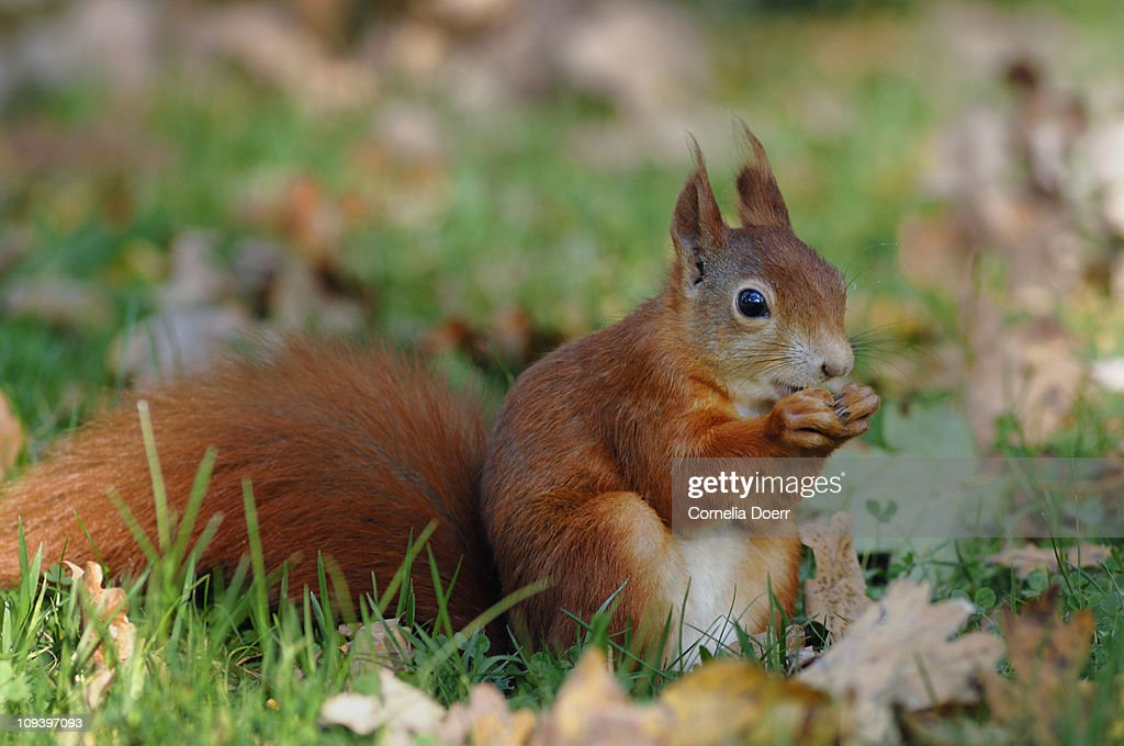 Red Squirrel in autumn : Stock Photo