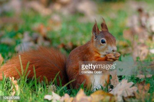 Red Squirrel in autumn : Stock Photo
