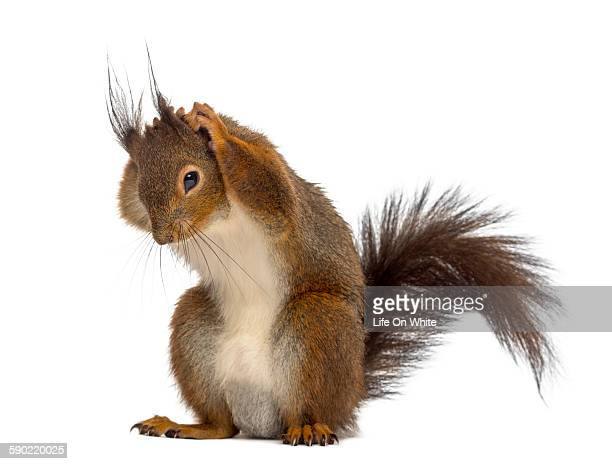 Squirrel Stock Photos And Pictures Getty Images