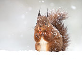 Cute red squirrel in the falling snow, winter in England.