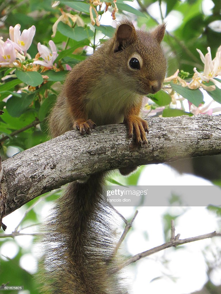 Red squirrel on branch with flowers
