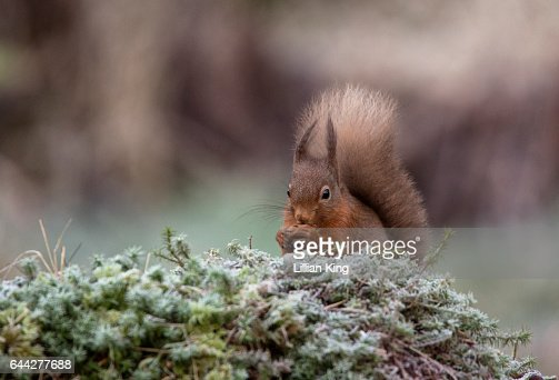Red Squirrel on frosty Morning