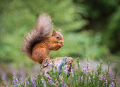 Red squirrel gathering food, County of Northumberland, England