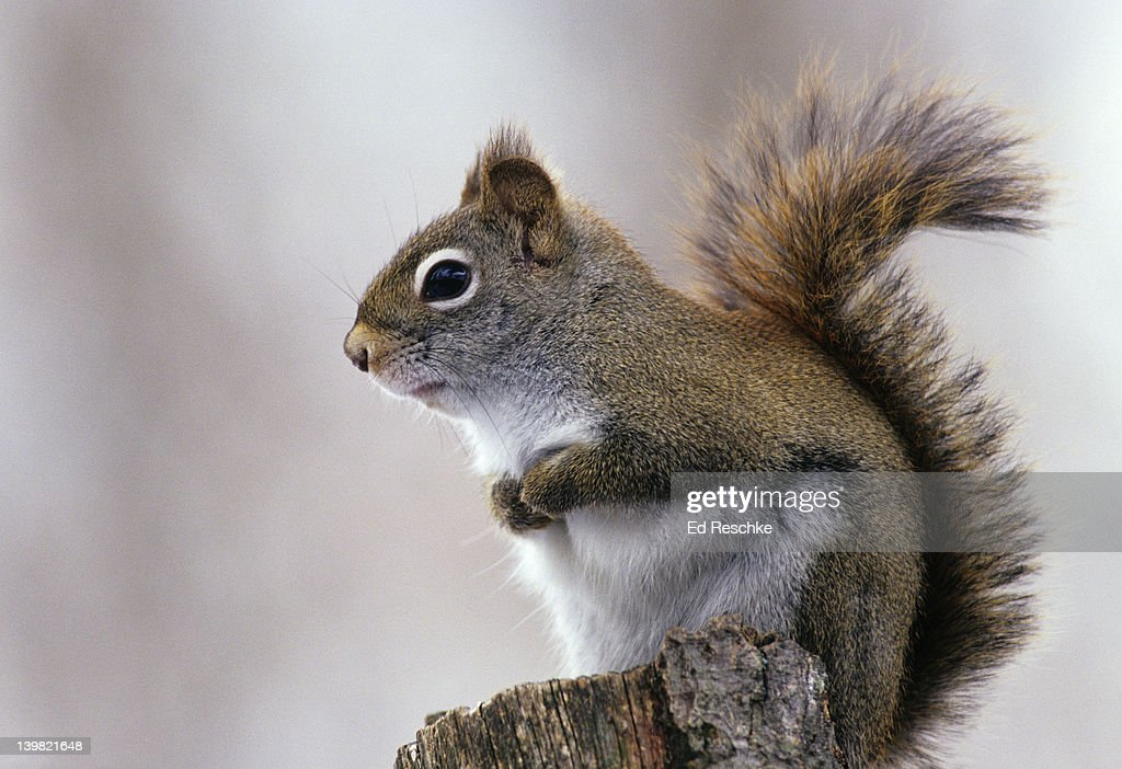 Red Squirrel, Tamiasciurus hudsonicus. Primarily an inhabitant of the evergreen forests. Noisy little squirrel with chattering call. Michigan. USA : Stock Photo