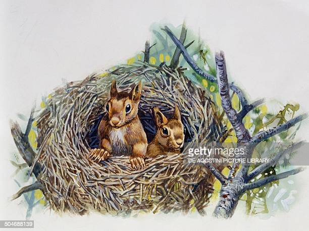 Red Squirrels in a drey Sciuridae drawing