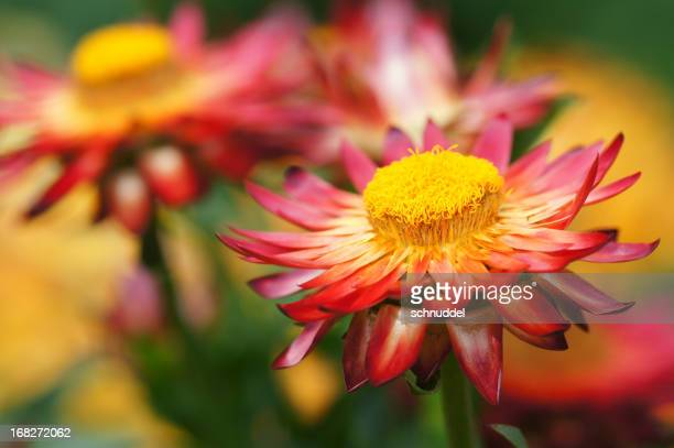 strawflowers rouge
