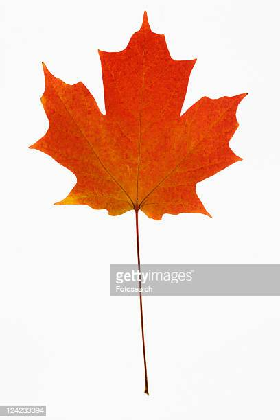 Red Sugar Maple leaf against white background.