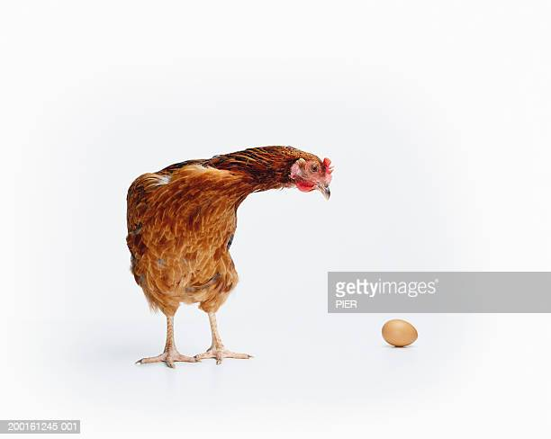 Red Sussex hen looking at egg