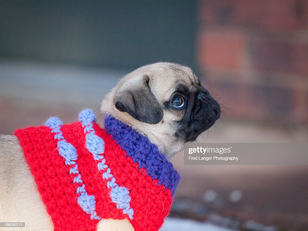 Red sweater on pug puppy : Stock Photo