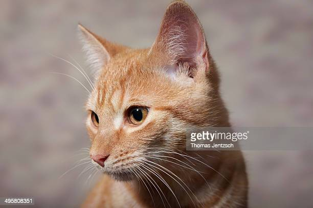 Red tabby domestic cat, circa 6 months, portrait