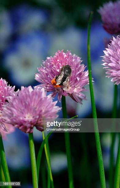 Red Tailed Bumble Bee On Allium SchoenoprasumOutside In A Garden Enviroment