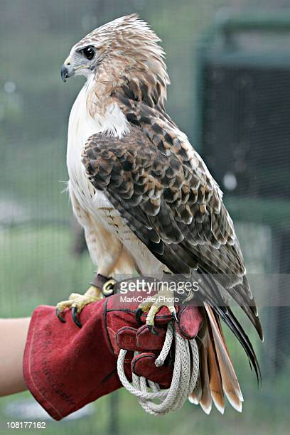 Red Tailed Hawk on Keepers Gloved Hand