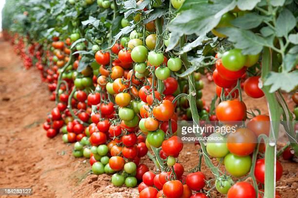 Tomates rouge