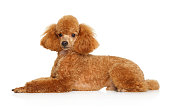 Toy poodle puppy lying over white background