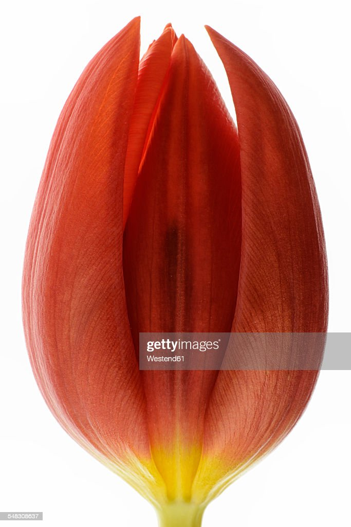 Red tulip in front of white background