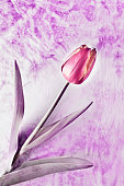 One red tulip flower in bloom  on colored background ,desaturate image
