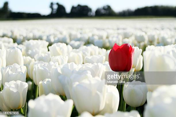 red tulip on white background