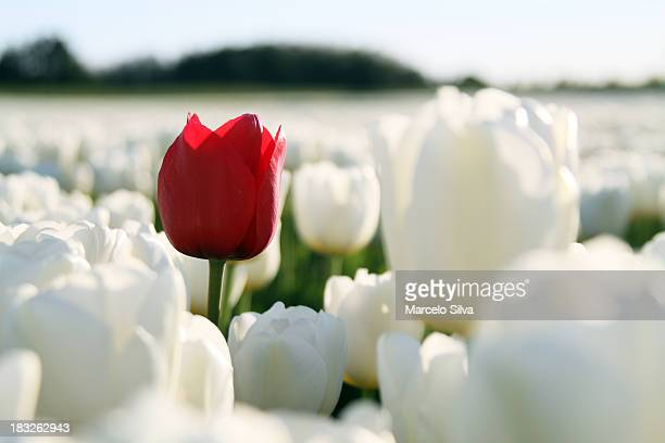 red tulip on white