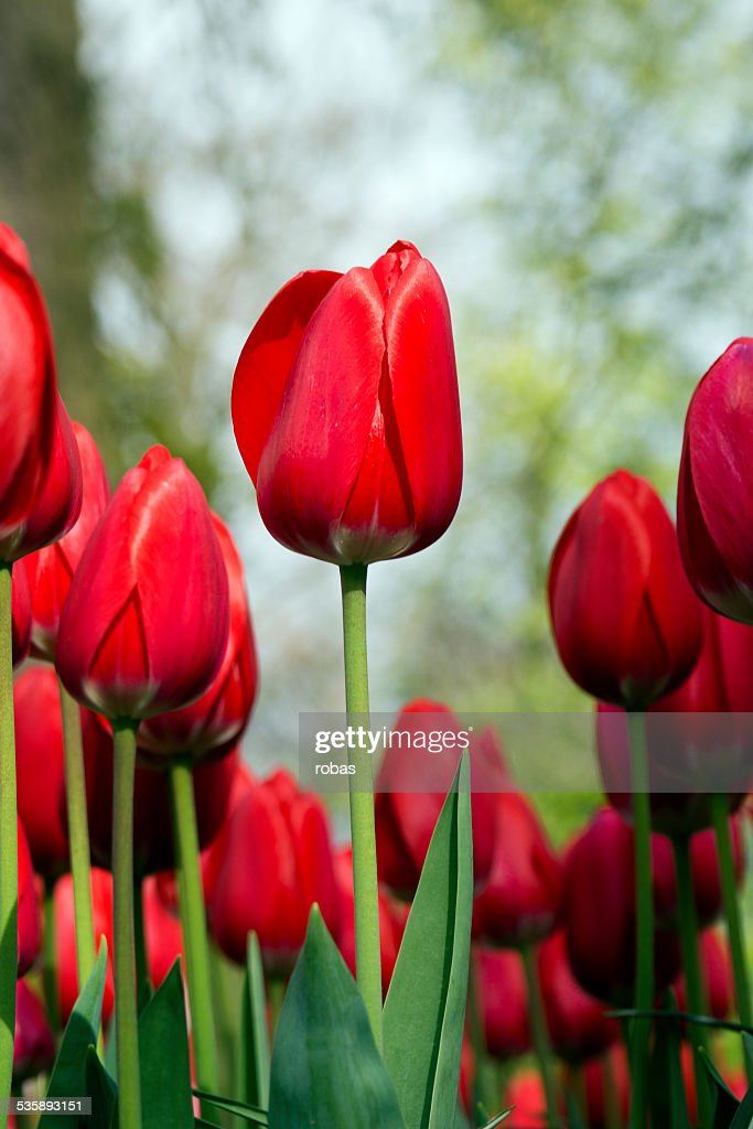 Red tulip standing out from the crowd : Stock Photo