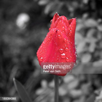 Red tulip with water drops : Stock-Foto