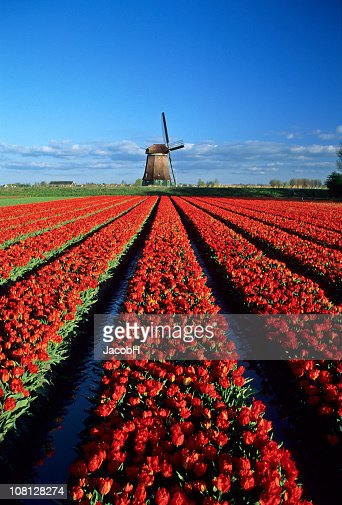 Red Tulips and Windmill : Stock Photo