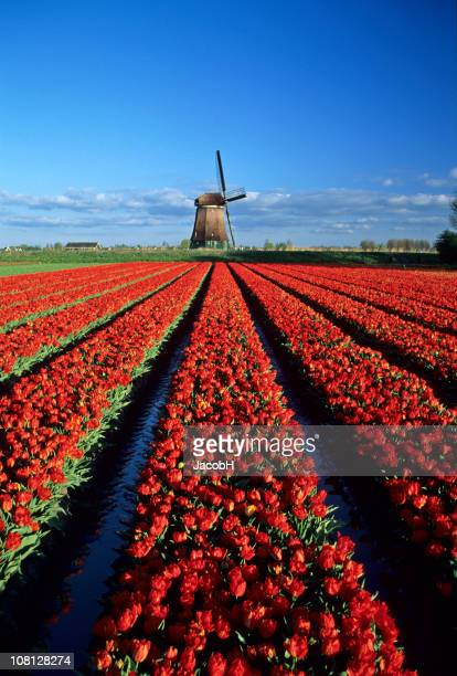 Red Tulips and Windmill
