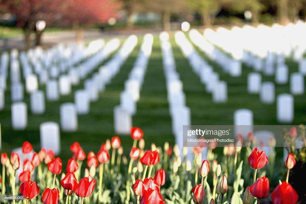 Red tulips at Arlington National Cemetery, Arlington, VA, USA