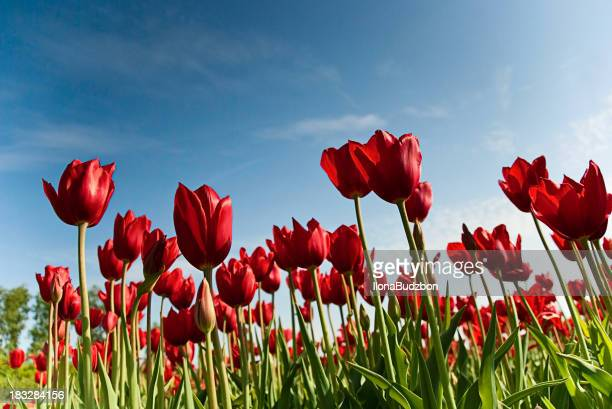 Red Tulips from below