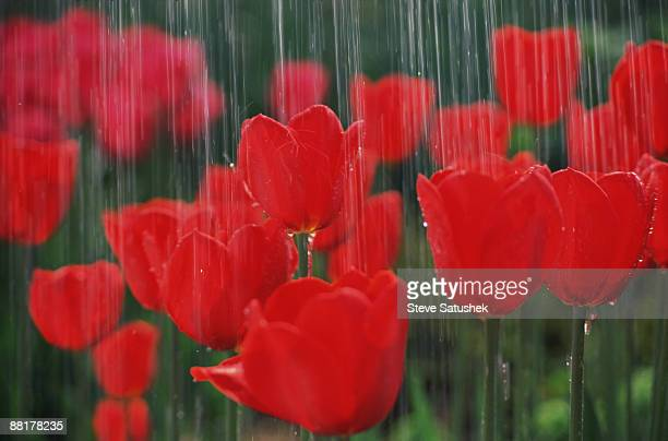 Red tulips in rain