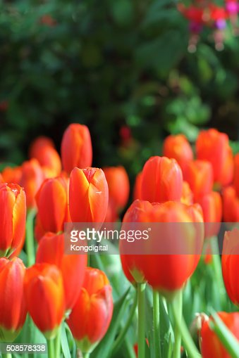 Red tulips : Stock Photo