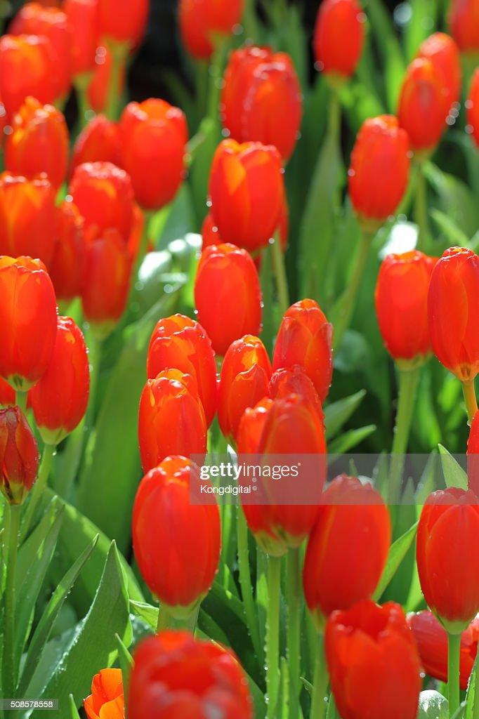 Tulipes rouges : Photo